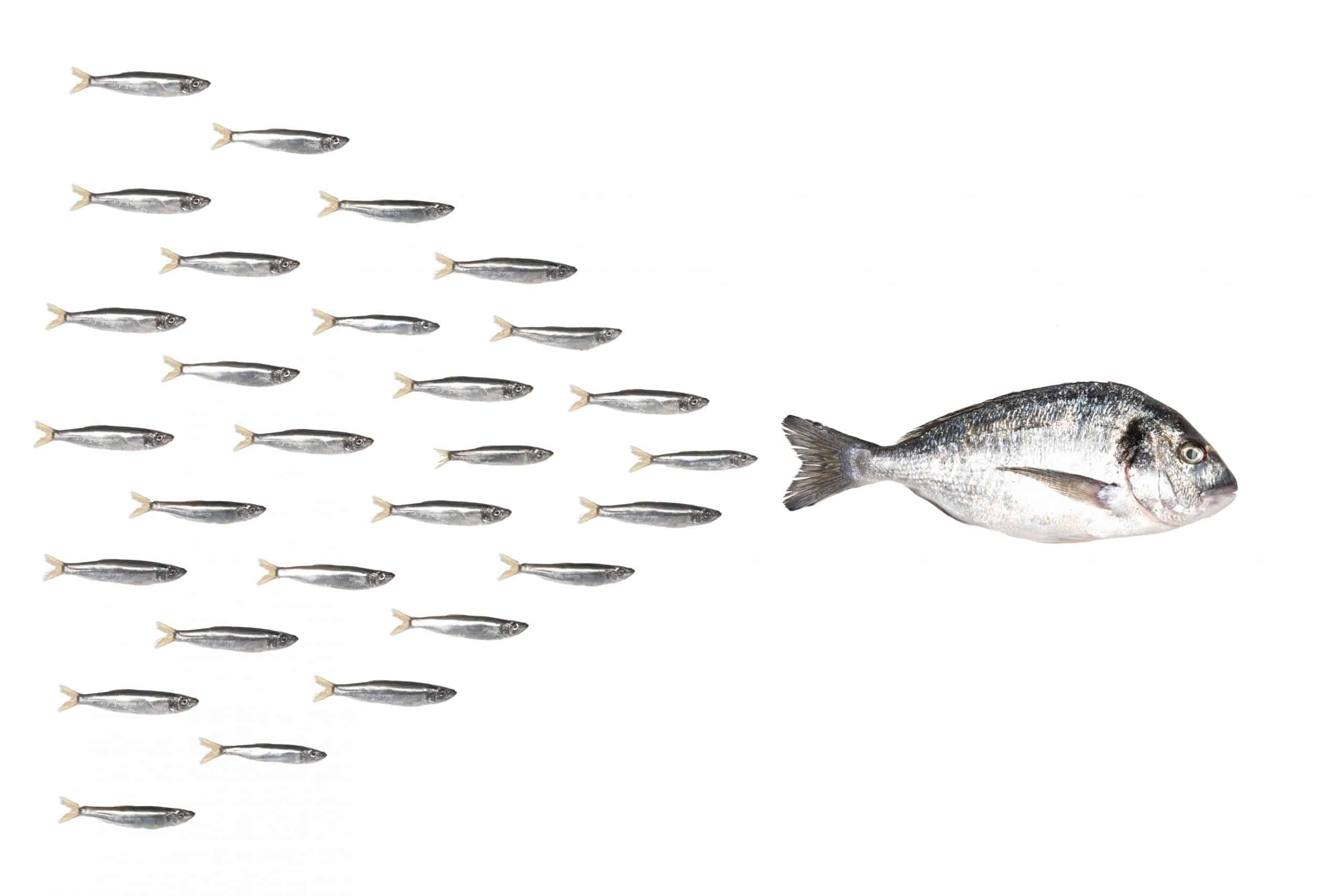 Fishes in group leadership concept.